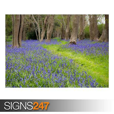BLUEBELL FLOWERS GROVE SPRING (AD803) NATURE POSTER - Poster Print Art A1 A2 A3