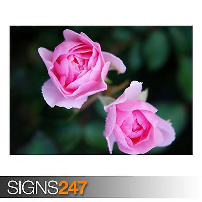 TWO PINK ROSES NATURE POSTER Photo Picture Poster Print Art A0 to A4 AD858
