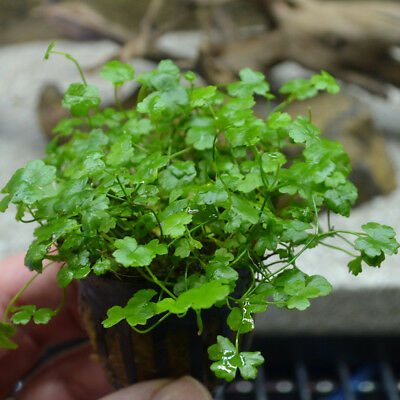 Dwarf Pennywort 'Japan' Hydrocotyle tripartita Live Aquarium Plants Foreground