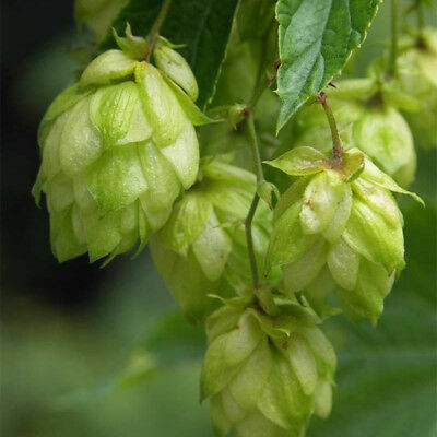 Chinook Hops dormant Rhizome.  Hop Beer brewing plant