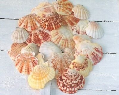 Seashells Pectin Scallop Selection SECONDS 4-8cm Ideal for Crafts 60 Shells