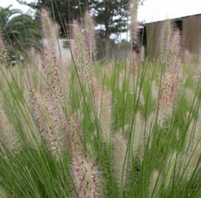 NAFRAY Pennisetum alopecuroides fountain grass plant in 120mm pot
