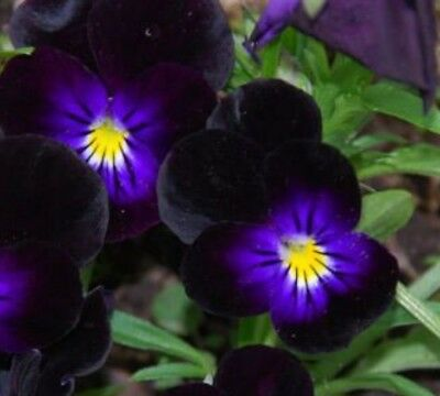 F0951 Viola Bowles Black x20 seeds Mother's Day Autumn Edible Flower Garden