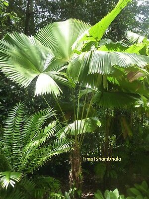 Licuala peltata var. Sumawongii 'COLD HARDY' Tropical Looking Fan Palm