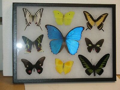 Real framed Butterfly collection #6
