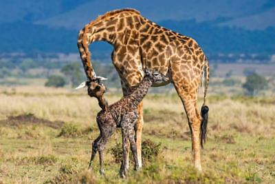 GIRAFFES GLOSSY POSTER PICTURE PHOTO PRINT african tallest neck long 4714