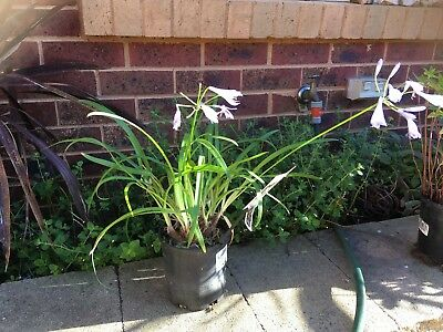 Agapanthus small leaved blue flower with pot and soil
