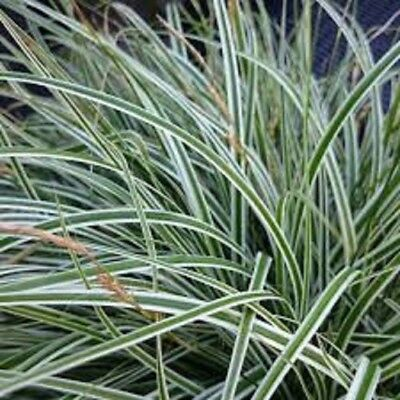 EVEREST Carex oshimensis green & white ornamental grass plant in 140mm pot