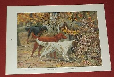 Gordon Setter - Irish Setter - English Setter   Dog Print Louis Fuertes