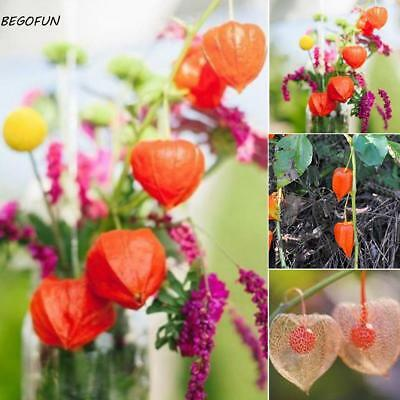 50PCS Lantern Fruit Seeds Perennial Physalis Cape Gooseberry Seeds B44G 01
