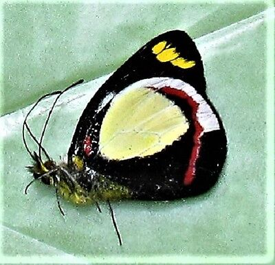 Lot of 25 Butterfly Delias dixeyi Pieridae Folded/Papered FAST FROM USA