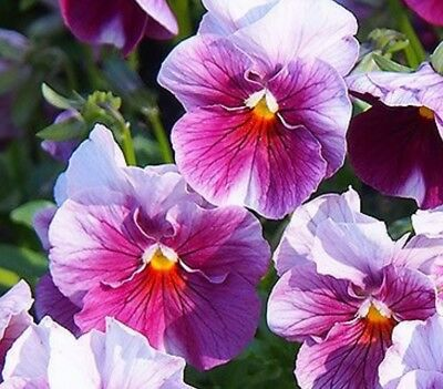 F0939 Viola Nature Frosty Rose x20 seeds