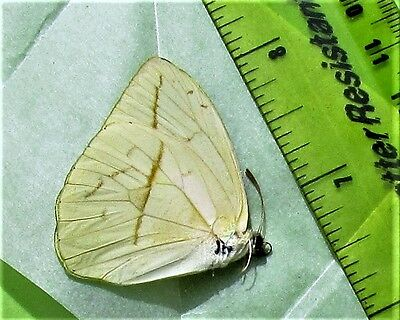 Buttercup Butterfly Phoebis trite Folded/Papered FAST SHIP FROM USA