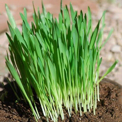 400X Green Wheatgrass Wheat Grass Seeds Great For Sprouting Pets Health: