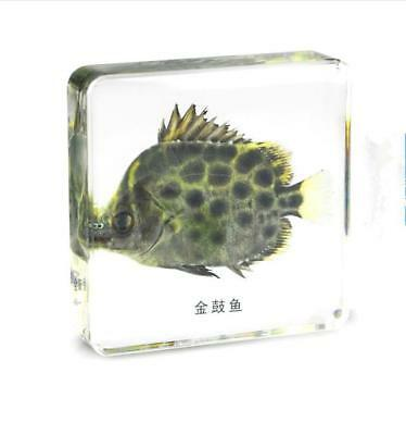 Scat Fish embedding specimen collection amber crafts paperweight resin