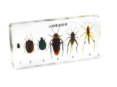 Injurious insect amber embedding specimen collection crafts paperweight resin