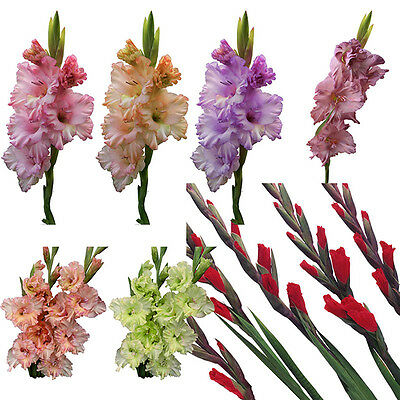 2pcs Mixed Colors Gladiolus Jumbo Giant Flower Bulbs Perennials Summer Plant :