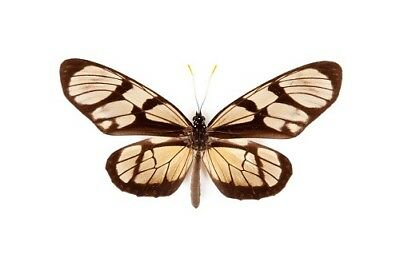 Peruvian Milkweed Butterfly Ituna lamirus Folded/Papered FAST FROM USA