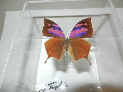 Sam Trophia Butterfly Art Acrylic Case Real Signed Key West Preserved Pink