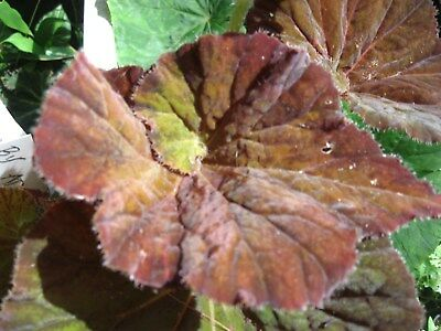 Begonia  Notorious   .new Release..magnificent Foliage...extremely Pretty