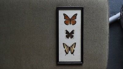 3 Real Framed Butterflies 1969 Montana Swallowtail, Monarch and Unknown