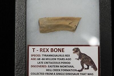T-Rex Dinosaur Bone in Display