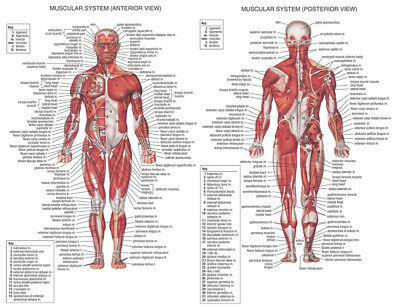 Muscle System Posters Silk Cloth Anatomy Chart Human Body Educational Home Decor