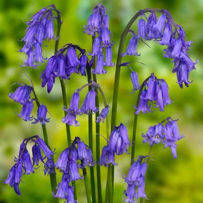 Bolly Bulbs® True English Bluebells (Hyacinthoides non-scripta) Grown in the UK