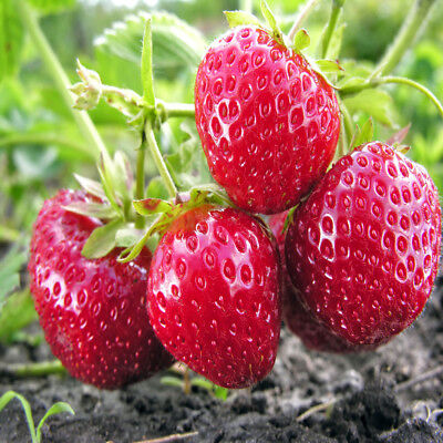 Ft. Laramie Everbearing 100 Live Strawberry Plants, NON GMO