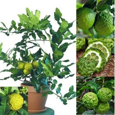 30 Pcs/Pack Rare Kaffir Lime Seeds Tree Garden Plant Lemon Bonsai Pot Perennial