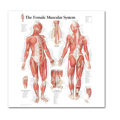 Human Body Muscle Anatomy System Female Anatomical Chart Educational Poster New