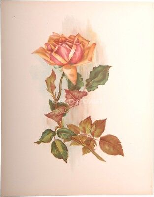 'Red Rose' 1909 Victorian Color Litho 10x13 Print - Chromolithograph