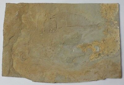 """2 Unknown Small Fish Fossils Plate, From Wyoming 6""""x4"""" Perfect Condition"""