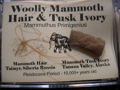 WOOLLY MAMMOTH Genuine Hair & Tusk PLEISTOCENE for Fossil Collectors