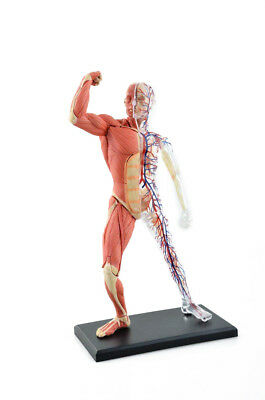 46 Parts Muscle & Skeleton Anatomy Model Human Body Medical Simulation Model