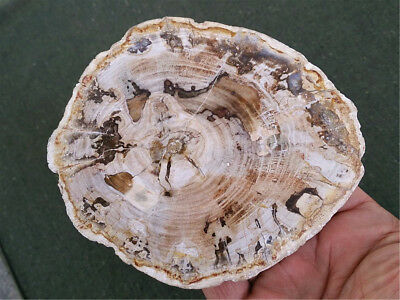Natural Petrified Wood Fossil Crystal Polished Slice Madagascar 347g MHP7143
