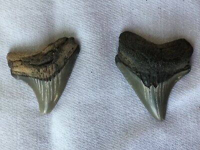 2 Calvert Cliffs Megalodon era The Meg   Fossil Prehistoric Shark Teeth