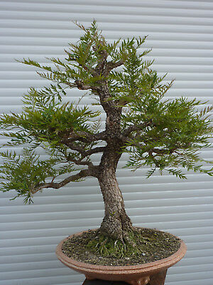 Bonsai, Solitär, Grevilea robusta