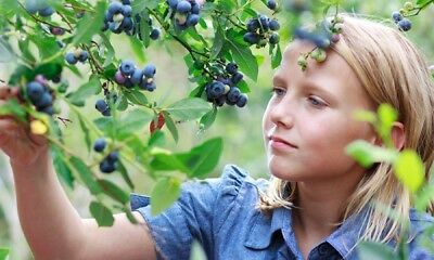 400 Origanic Blueberry Seeds. High Bush. Non-GMO. For 2019.