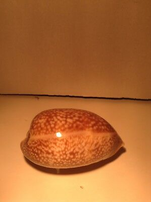 Cypraea Cervus, Giant, 125mm, from figarty old collection. Nice design and color
