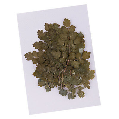 20pc Pressed Dried Leaves Thalictrum For DIY Phone Case, Resin Jewelry Craft