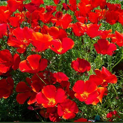 F0196 Eschscholzia 'Red Chef' California Poppy x300 seeds