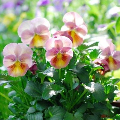 100Pcs Seeds Pansy Seeds Pansy Garden Decoration  Bonsai Plant Flower Seeds