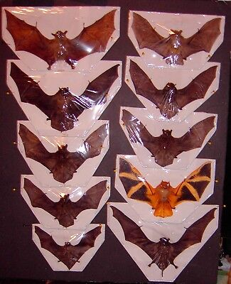 Bat Taxidermy 10 Lot 9 Species  Displayed  In Flying Position Some Rare