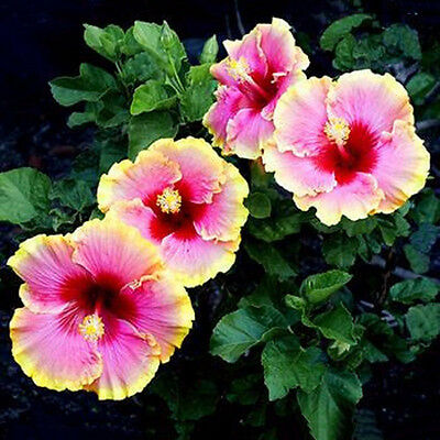 50X Mixed Color Hibiscus Flower Plant Seeds Beautiful Flower Garden Bonsa Gift
