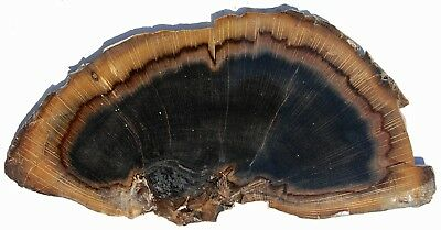 Large, Polished Stinkingwater Petrified Wood Slab-Oak-End Cut