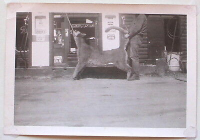 Vintage 1950's Hunter Photo Huge Mountain Lion At Sinclair Gas Station Pumps Guc