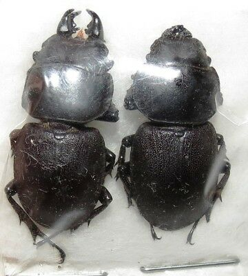 CO104 COLEOPTERA LUCANIDAE PAIR Apterodorcus bacchus FROM CHILE