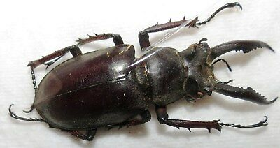 CO110 COLEOPTERA LUCANIDAE MALE 44mm Lucanus angusticornis FROM VIETNAM