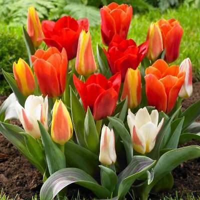 Mixed rockery Tulips,good variety of dwarf growing DutchTulips by Bolly Bulbs.